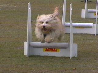 Flyball_petitchien